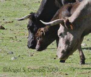 Vacas pastoreando en Guadarrama.