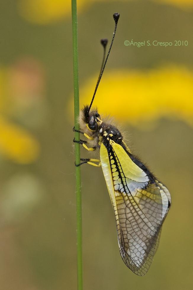 L. baeticus