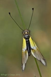 Libelloides baeticus