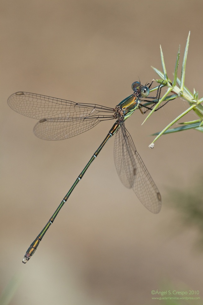 Lestes o Chalcolestes viridis (macho).