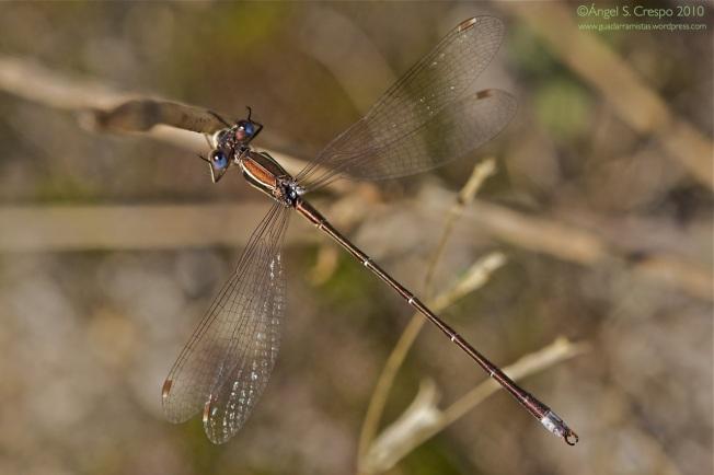 Lestes virens macho. Vista cenital donde se aprecia el color azulado de los ojos.