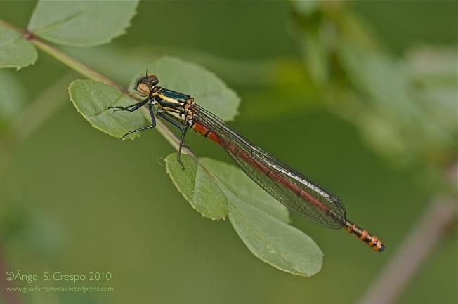 P. nymphula. Hembra forma fulvipes.