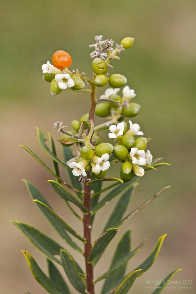 Torvisco (Daphne gnidium).