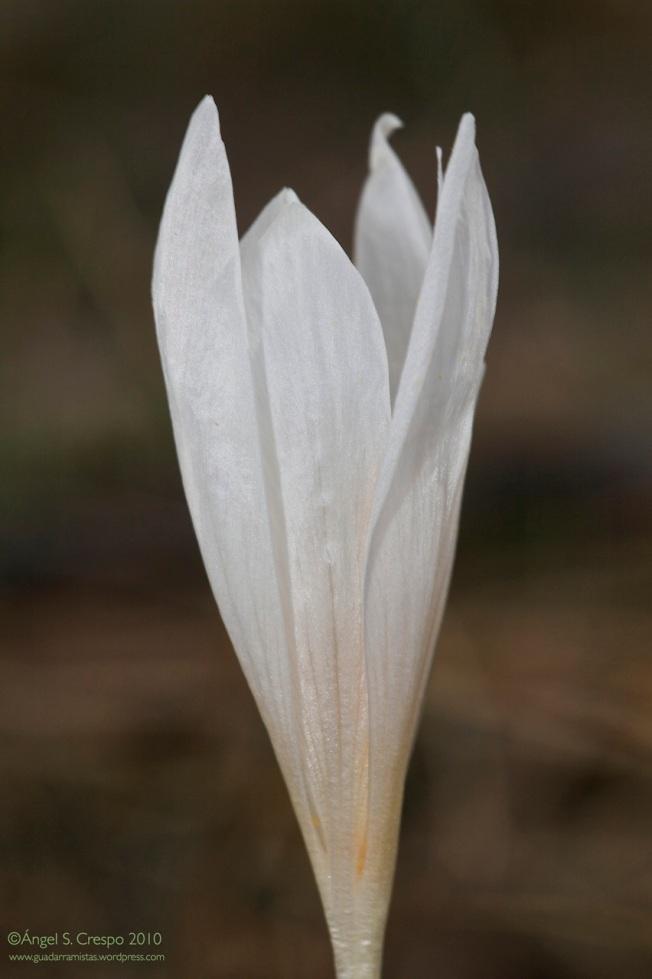 C. serotinus.