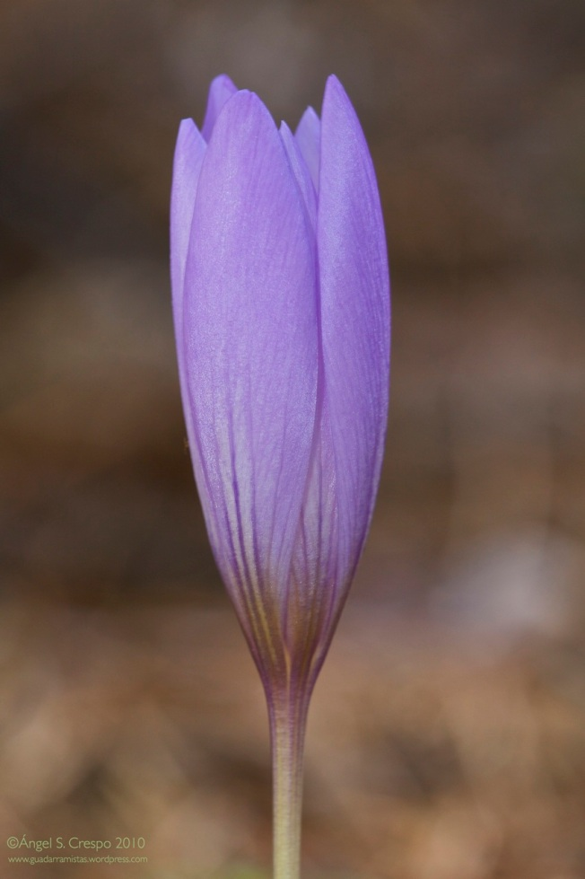 Crocus serotinus. Azafrán tardío.