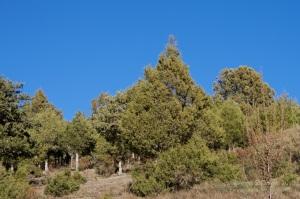 Juniperus thurifera.