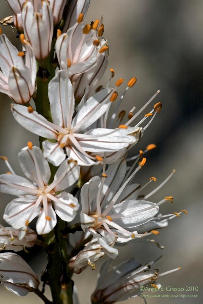 Flores de gamón.