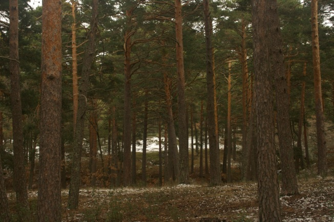 Bosque de Valsaín-Segovia.