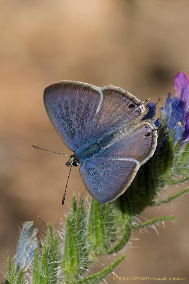 L.boeticus.