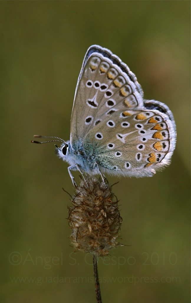 P. icarus.