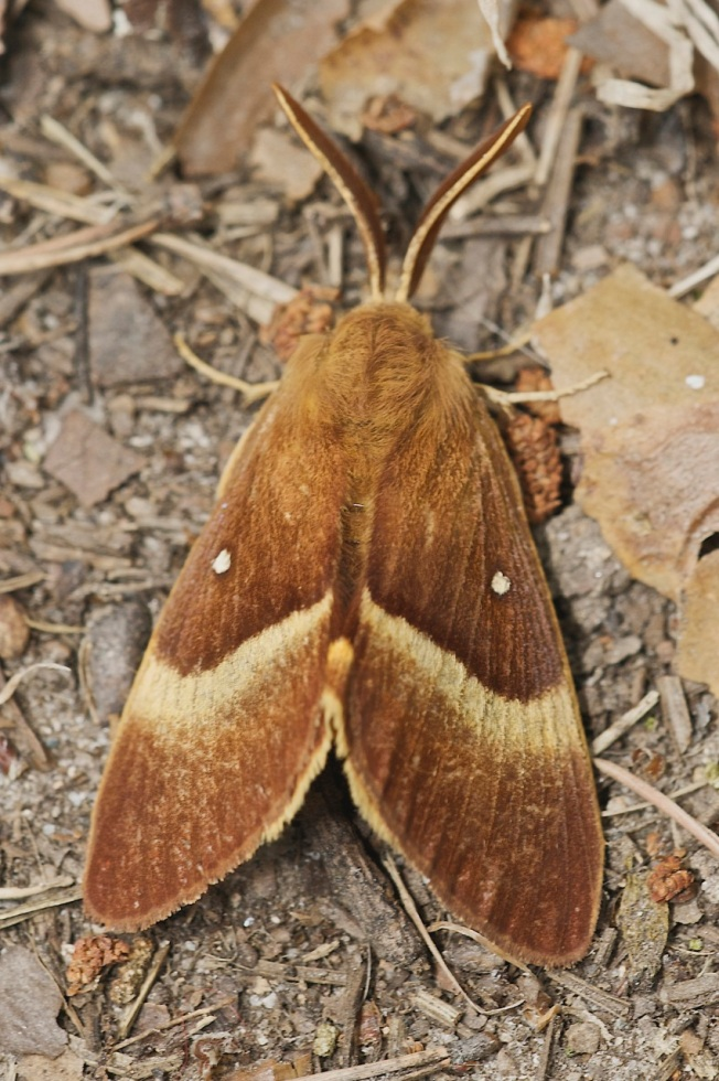 L.quercus (macho).