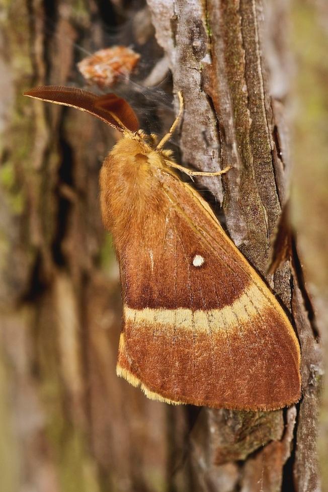 Lasiocampa quercus (macho).