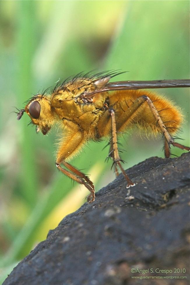 S. stercoraria.