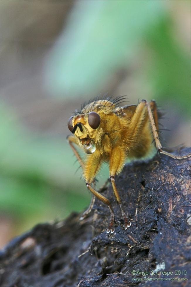 Scatophaga stercoraria regurgitando jugos en su digestión.