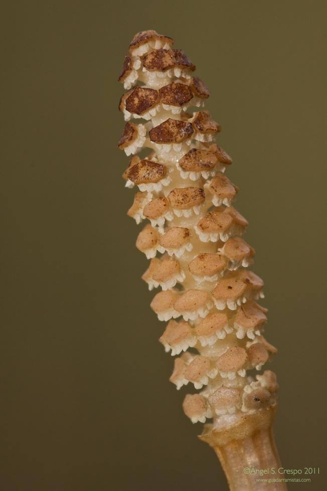 E. arvense.