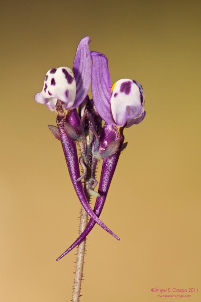 Linaria amethystea.