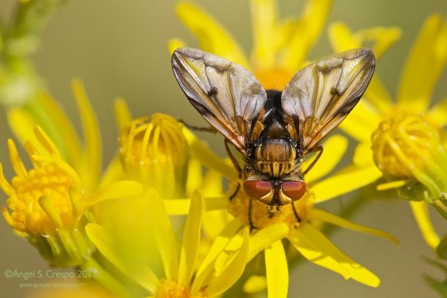Ectophasia crassipennis.