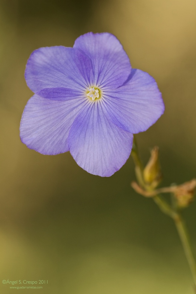 L. narbonense o lino azul.