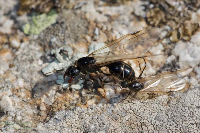 Messor.sp. Hormigas con alas. La  hembra, de mayor tamaño que el macho.