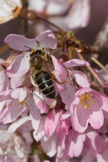 Una abeja inmersa en su labor de polinización.