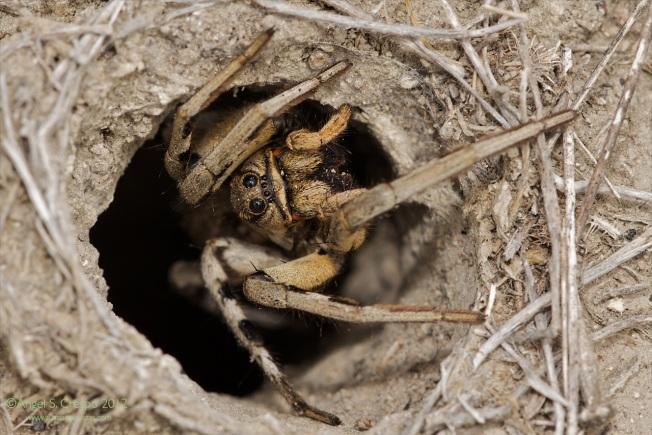 Lycosa tarantula a las puertas de su casa.