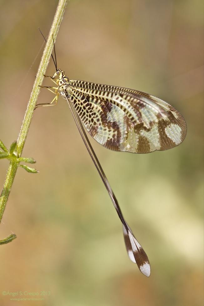 N. bipennis (vista lateral)