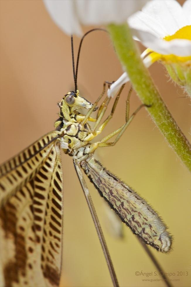 Nemoptera bipennis. Detalle