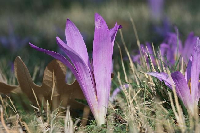 Quitameriendas. M. montana