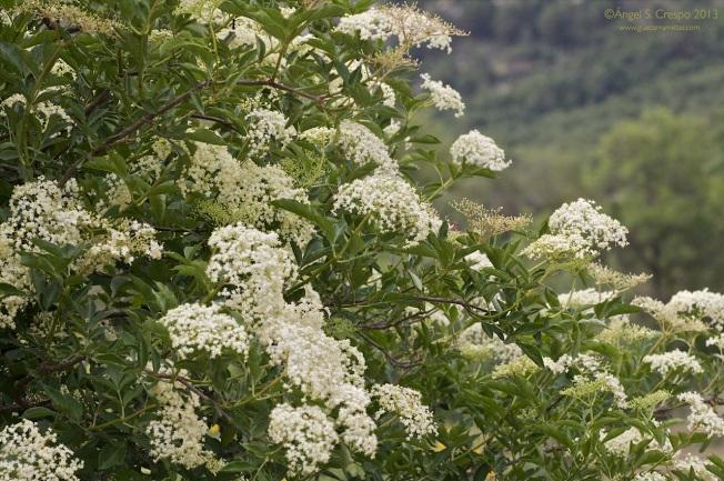 Sambucus nigra. Saúco