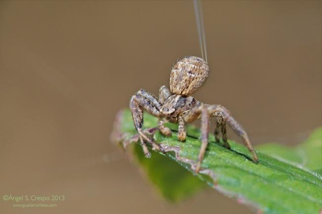 Araña del género Xysticus