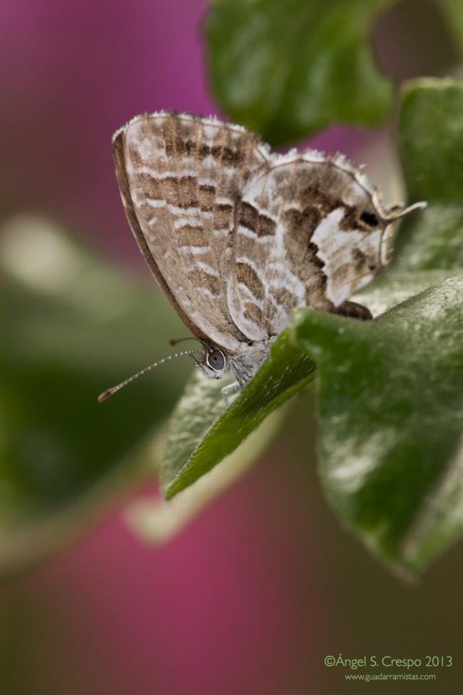 Cacyreus marshalli- Taladro del geranio