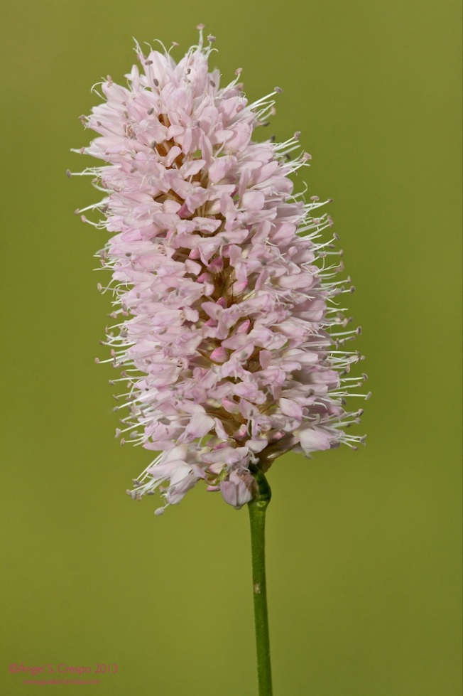 Polygonum bistorta-Flor