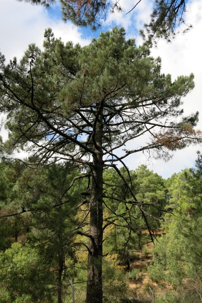 El pino laricio Pinus nigra, el pino carrasco Pinus halepensis y el pino resinero Pinus pinaster son las especies resineras por excelencia, fundamentalmente la última.