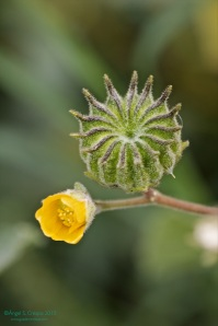 Flor y cápsula en formación. Abutilon theophrasti.