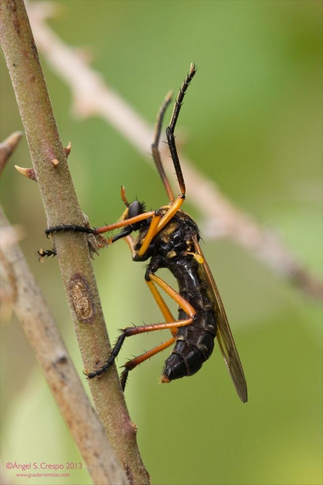 M. teutonus con sus patas abiertas, esperando el paso de alguna presa.