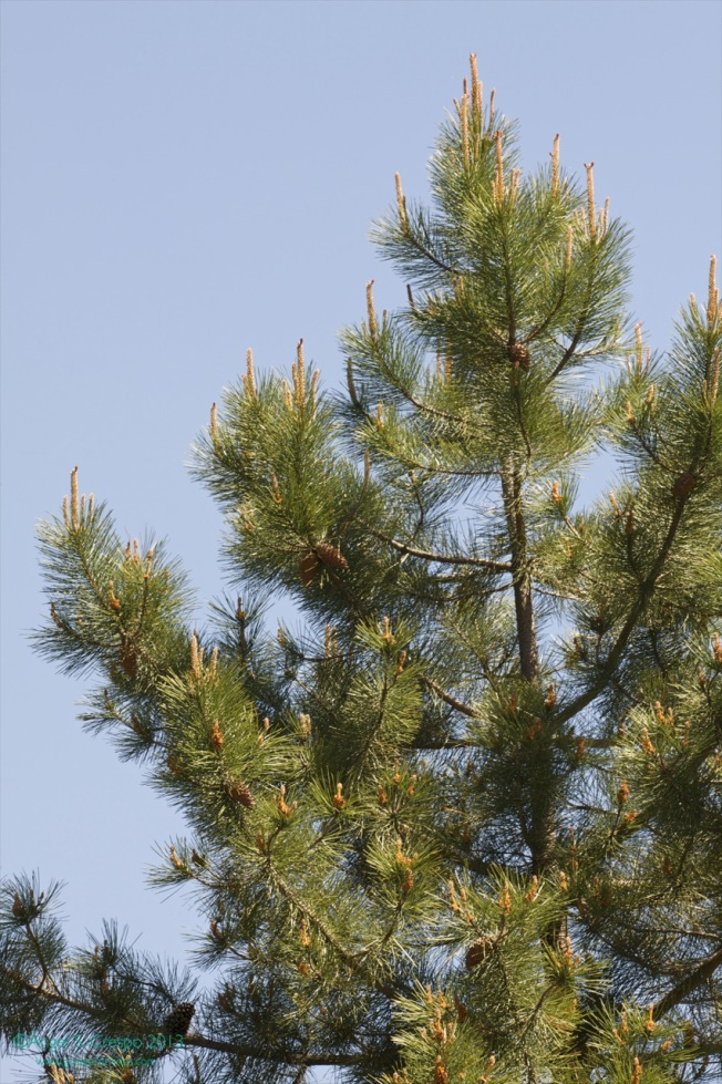 Pino resinero. Pinus pinaster.