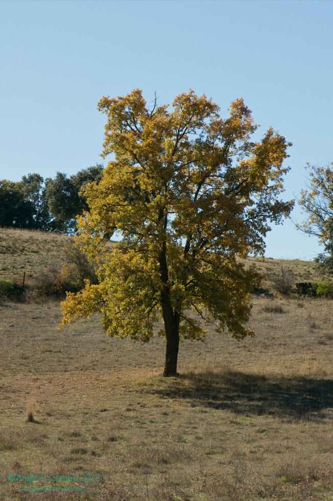 Quercus faginea.