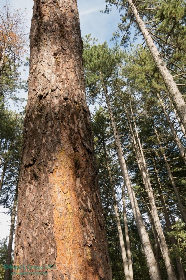 Tronco de pino silvestre Pinus sylvestre, albar o de Valsaín. No tiene aprovechamiento resinero. Como maderable es de los más apreciados.