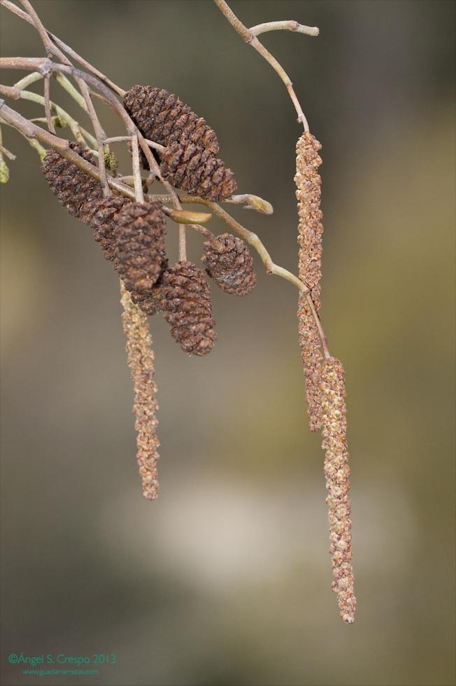 Amentos y frutos de aliso. (Alnus glutinosa).