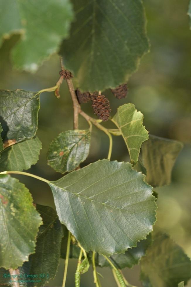 Hojas de aliso (Alnus glutinosa).