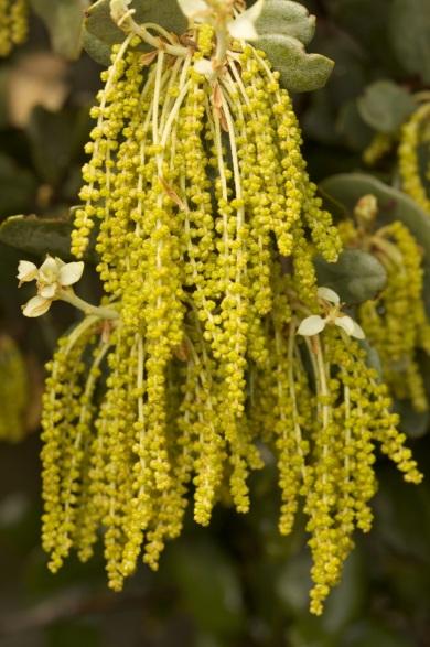 Quercus ilex. Floración.