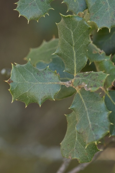 Quercus ilex. Hojas.
