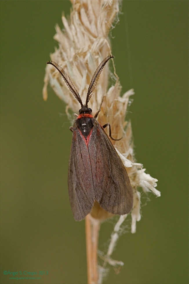A. infausta.