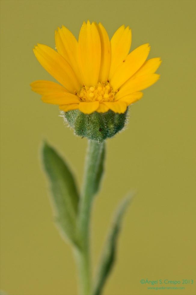 Calendula arvensis.