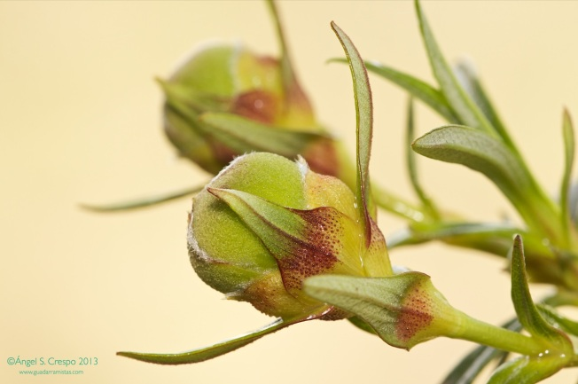 Capullos florales de Cistus ladanifer. Se aprecia el brillo del ládano