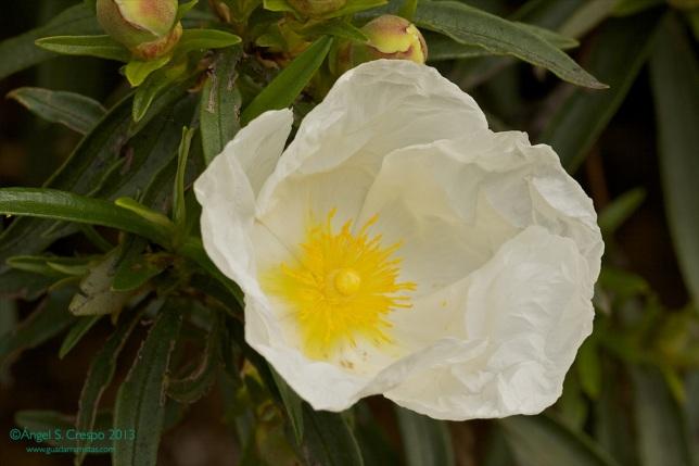Flor de Cistus ladanifer.