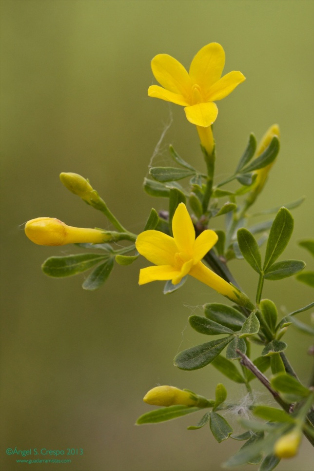 Jasminum fruticans. Flores.