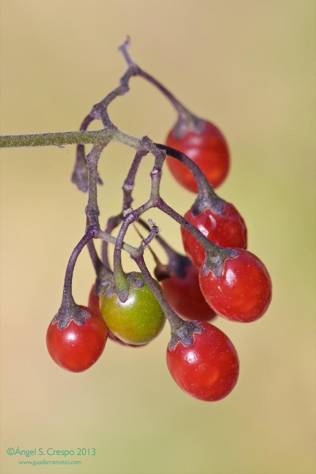 Solanum dulcamara. Frutos