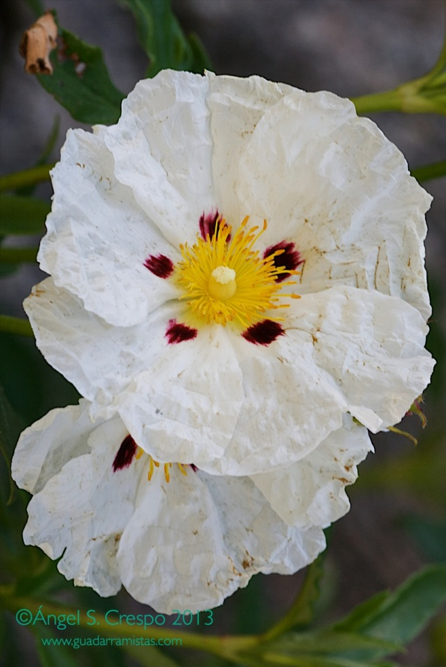 Variedad de floración de Cistus ladanifer.